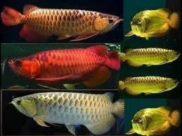 tank top: Sell Blue Base Arowana Fish / Red Dragon Arowana Fish / Super Red Arowana Fis
