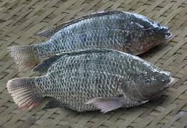 Wholesale whole frozen fish: Frozen Tilapia Fillet and Whole Tilapia Fish