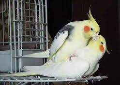 Wholesale finch birds: Live Canary Birds,Yorkshire Canary Birds,Goldfinches,Zebra Finches Lancashire and Frill Canary,Red