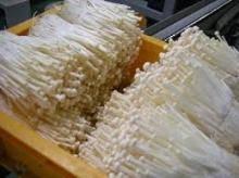 Wholesale fresh mushroom: Natural Fresh Mushrooms