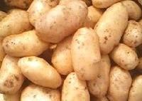 Sell New Crop 100g China Holland Potato