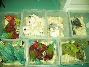 Wholesale Pet & Products: Talking Blue and Gold Macaws/Fertile Macaw Eggs