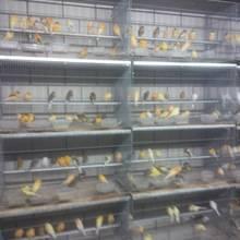 Wholesale finch birds: Live Canary Birds,Yorkshire Canary Birds and Lancashire Canary Birds,Finch Birds