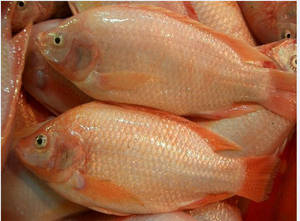 Wholesale frozen tilapia fish: Frozen Red Tilapia Fish