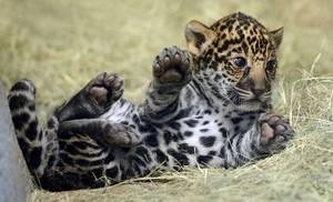 Wholesale cub: Jaguar Cubs for Sale