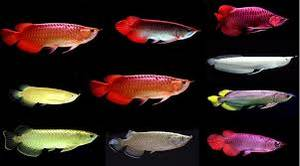 Wholesale Fish & Seafood: Asian Red Arowana Fish, Super Red Arowana, Black Diamond Stingray Fishes for Sale