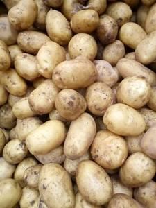 Wholesale fresh cabbage: Fresh Potato