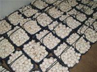 Wholesale Mushrooms & Truffles: Agaricus Bisporus/ White Mushroom