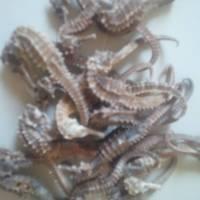 Dried Fish Maw, Dried Seahorse Fish, Dried Sea Cucumber