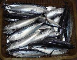 Wholesale whole frozen fish: Frozen Whole Tuna Bonito Fish 300-500g
