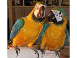 Wholesale finch birds: Love Birds,Cockatails,Canary Birds, Finch,Parrots and Parrots Eggs for Sale