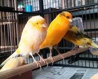 Wholesale finch birds: Finches,Canary Birds,Yorkshire Canary Birds,Lancashire Canary