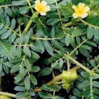 Sell Tribulus Terrestris Plant Extract 