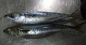 Wholesale whole frozen fish: Whole Round Frozen Fish Pacific Mackerel