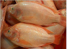 Tilapia fillet: Sell FRESH FROZEN RED TILAPIA FISH WHOLE ROUND