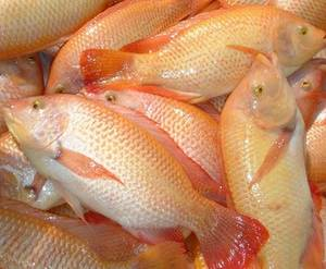Wholesale frozen tilapia fish: Grade A Fresh Frozen Red/Black Tilapia Fish