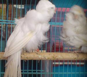 Wholesale canary birds: Live Canary Birds,  White Finches, Gouldian Finches,Zebra Finches Canary Birds