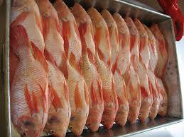 frozen seafood: Sell High Quality Seafood Red  Black Frozen Tilapia from china