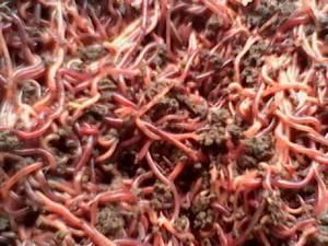 Wholesale truck: Vietnam Eisenia Fetida Red Worm
