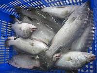 Frozen Barramundi and Barramundi Fillets with Frozen