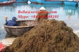 Wholesale seaweed: Sargassum Seaweed