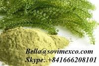 Fresh Seagrape_Seaweed VietNam