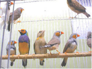 Wholesale pies: Gouldian Finch,Zebra Finch,Pied Finch, Owl Finch and Other Finch and Canaries