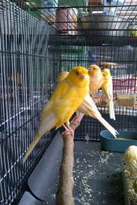 Wholesale canary birds: Healthy Live Exotics Birds , Tropical Birds , Hybrid Birds , Rares Birds ,Live Canaries, Live Finchs