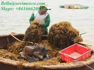 Wholesale seaweed: Seaweed Ulva Lactuca_best Choices for Organic Ferlitizer