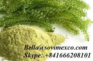 Wholesale dried seaweed: Supplier Fresh/Dried Sea Grapes ( Seaweed)