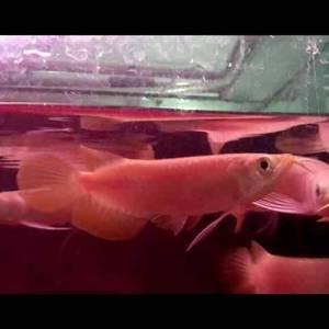 Wholesale Pet & Products: Asian Red Arowana Fish