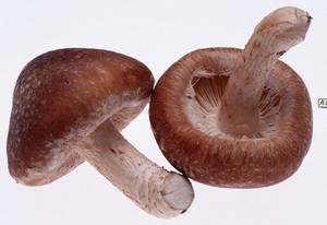 Wholesale shiitake mushroom powder: Shiitake Mushroom Extract