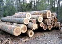 Poplar Logs, Pine Logs,Spruce Logs,Beech Logs 2