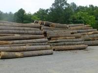Poplar Logs, Pine Logs,Spruce Logs,Beech Logs