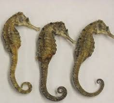 pickled cucumber: Sell Dried Seahorse
