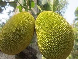 freeze dried: Sell Freeze Dried Jackfruit