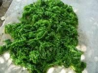 Dried Green Seaweed (Edible Seaweed) Dried ULVA LACTUCA