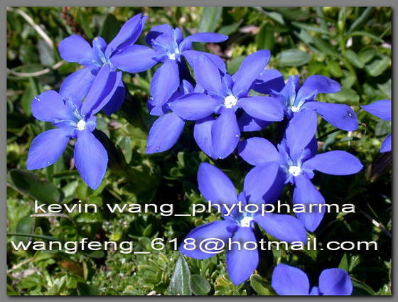 Sell Gentian (Root) Extract (Gentiopicroside)