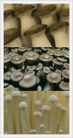 Fresh King Oyster Mushroom