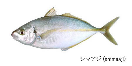 Striped jack fish id 6288356 product details view for Jack in the box fish