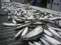 Pollock Fish,Salmon Fish,Shrimp,Sole Fish,Squid, Tilapia Fish ,Tuna,Whiting Fish,Markerel Fish