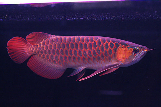 arowana fishes for sale id 6770132 product details view