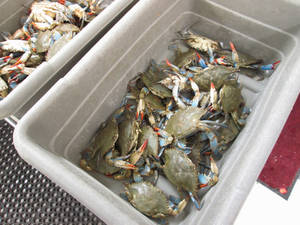 Wholesale frozen blue swimming crab: Live Crabs Available in Large Quantity