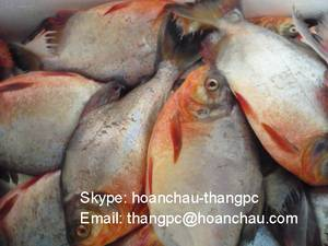 Wholesale pc: Frozen Red Pomfret To Iraq Market
