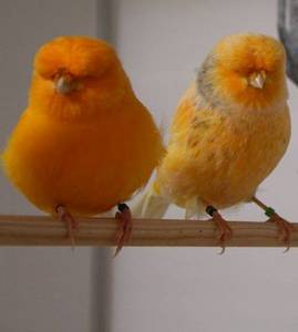 Wholesale canary birds: Lancashire Canary,Yorkshire Canary Birds