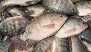 Wholesale frozen tilapia fish: Frozen Tilapia Fish
