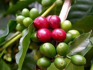 Wholesale green coffee bean extract: Green Coffee Bean Extract