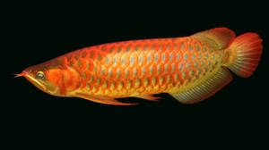 Wholesale fresh water pearl: Malaysian Gold Blue Base Arowana