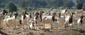 Wholesale chocolate: Live Boer Goats, Live Sheep, Cattle, Lambs