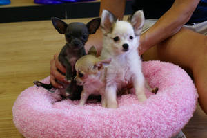 Wholesale puppy: Chihuahua Puppies (667)217-6447